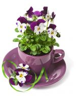 Viola in purple cup